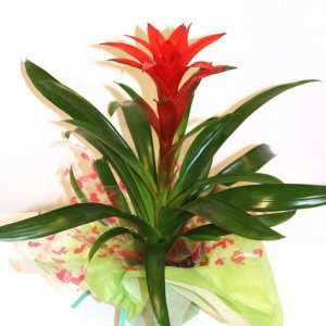 planta de guzmania