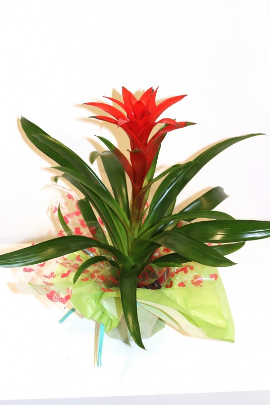 Planta de guzmania de color rojo