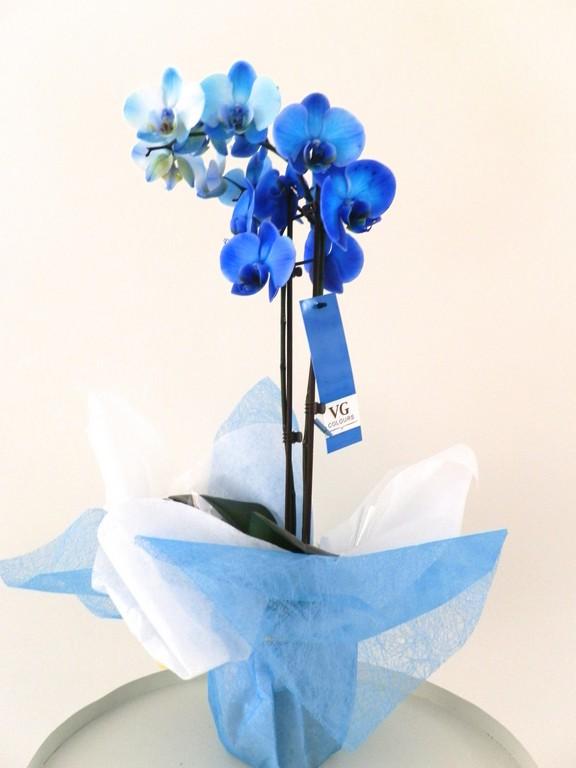 planta natural de orquídeas azules