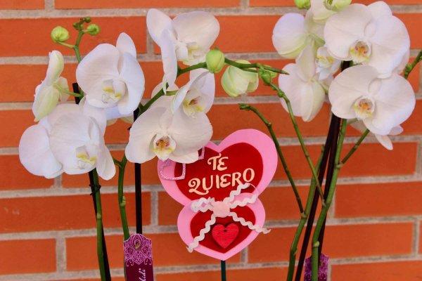 dos orquídeas phalaenopsis blancas dentro de un jarrón en Alaquàs