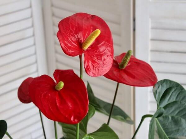 planta de anthurium de color rojo para regalar en Alaquàs