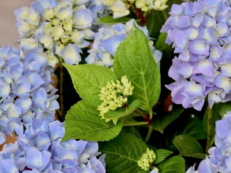 planta de hortensias de color azul