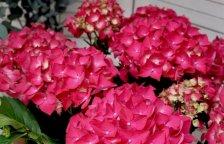 planta de hortensias de color fucsia