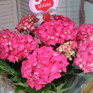 planta de hortensia para mamá