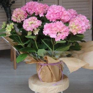 planta de hortensias de color rosa