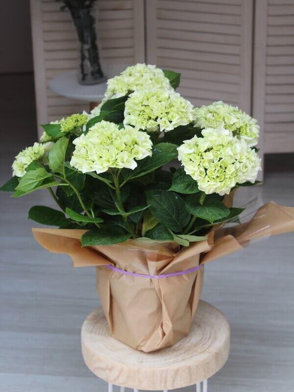 planta de hortensias de color verde