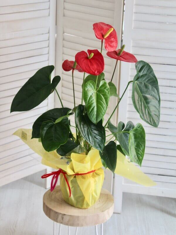 planta de anthurium de color rojo