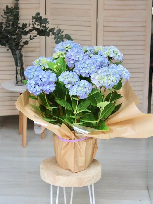 planta de hortensia de color azul