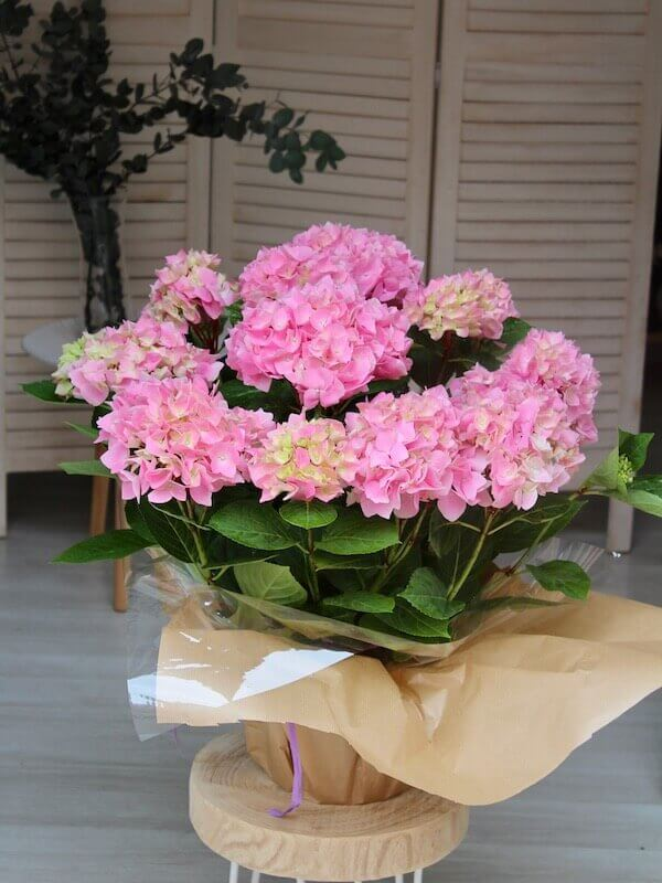 planta de hortensia de color rosa