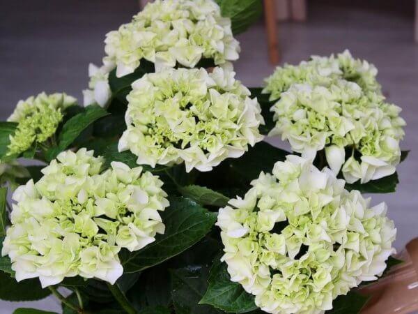 planta de hortensia de color verde