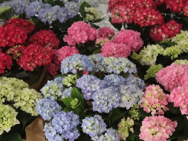 plantas de hortensia variadas de colores
