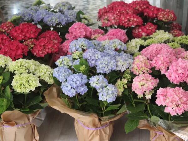 plantas de hortensias de colores variados
