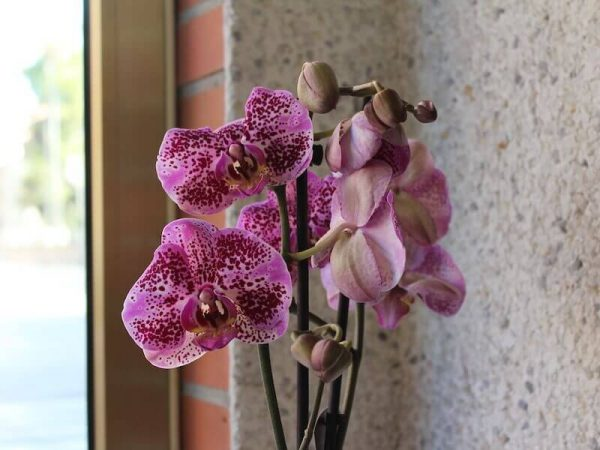 planta de orquideas para regalar en Torrent